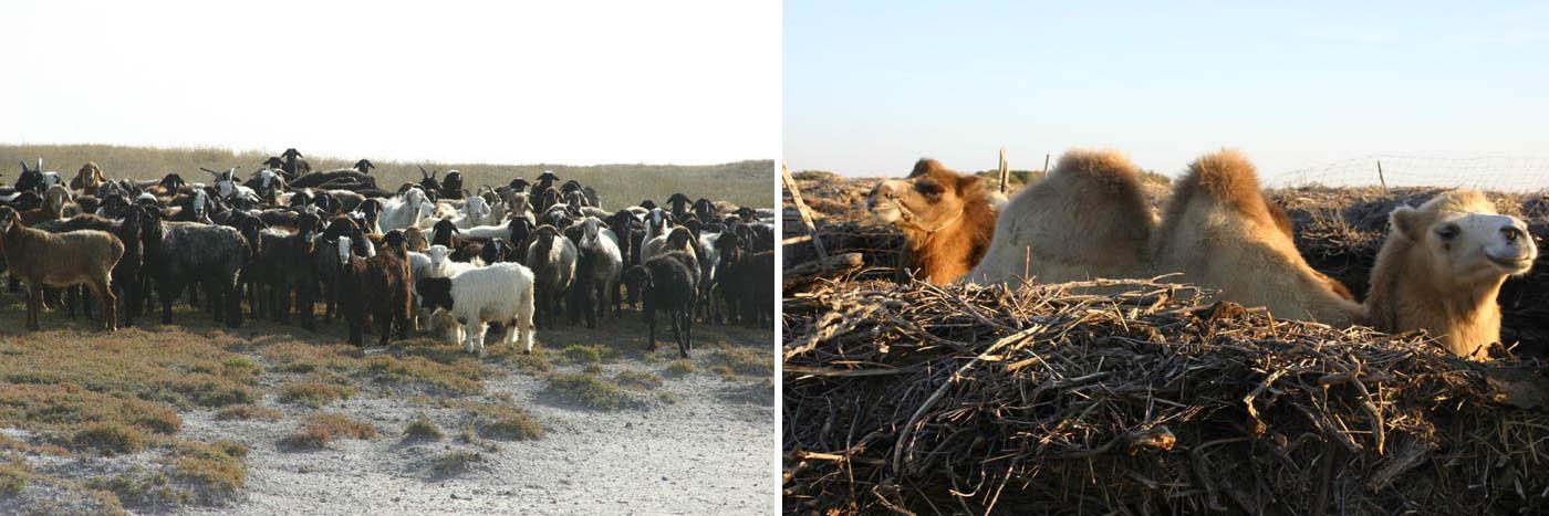 овцы & верблюды